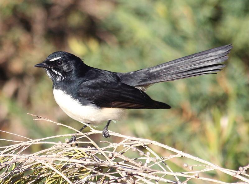 File:Willie-wagtail.jpg