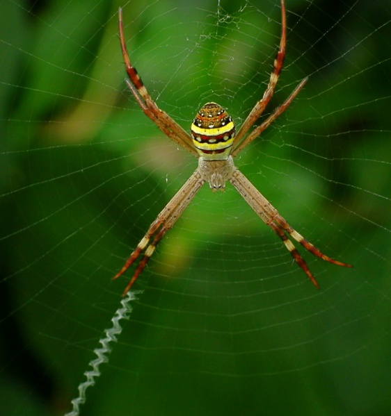 File:St Andrews Cross Spider.jpg