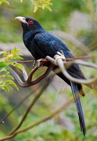File:Asian koel.jpg