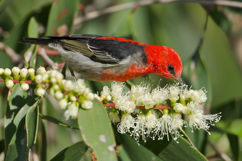 File:Scarlet-honeyeater.jpg